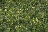 picture of prairie  - Original Wisconsin prairie with Golden Alexanders in bloom and the large leaves of Prairie Dock - JPG