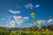 stock photo of condiment  - Single stems of mustard stand in a southern California field which grows the condiment - JPG