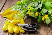 picture of plantain  - Fresh cut plants for herbal medicine  - JPG