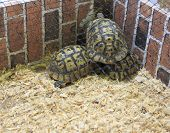 stock photo of testudo  - Two Testudo hermanni tortoises in a cage ready to be sold - JPG