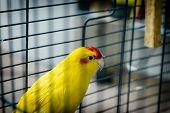 stock photo of parakeet  - Red-fronted Kakariki parakeet yellow colored goldcheck (Cyanoramphus novaezelandiae) mail ** Note: Shallow depth of field - JPG