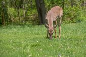 picture of manicured lawn  - A young buck deer with new antlers growing grazes in a suburban yard - JPG