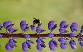 picture of bumble bee  - Bumble bee on Delphinium road Seattle WA - JPG