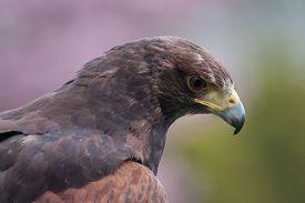 stock photo of hawk  - A  - JPG