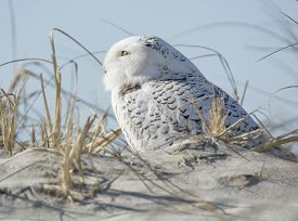 image of snowbird  - A Snowy Owl sitting on a sand dune among sea grasses