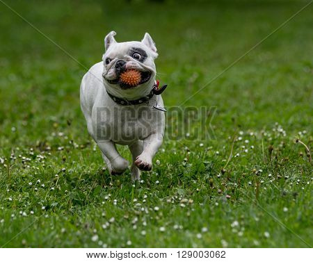 French bulldog running in the garden Selective focus