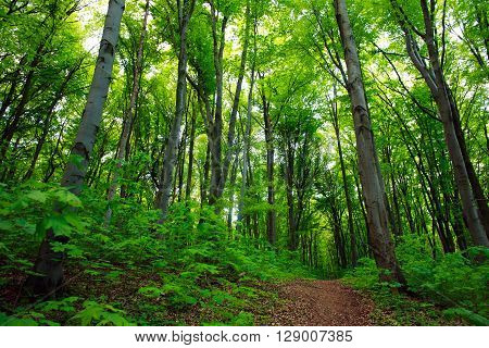 Path in a green deciduous forest nature background