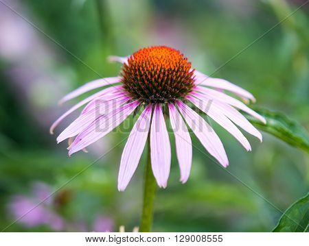 Pink flower with floral backgroundmedicinal, natural, nature,