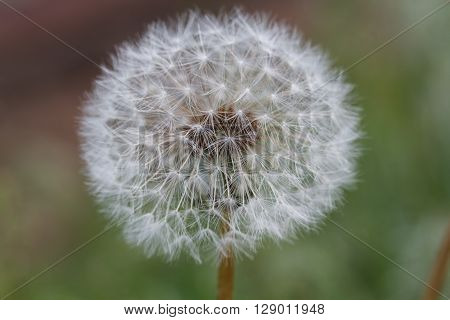 White withered dandelion on the street. Little depth of field.