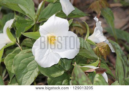 White Trillium (Trillium grandiflorum) blooming in woodlands.  Ontario provincial flower