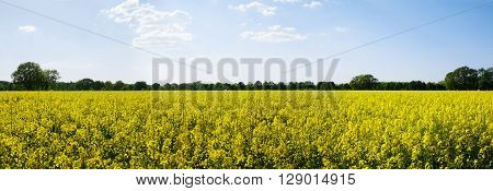 Panoramic view of rural landscape with yellow rape, rapeseed or canola field