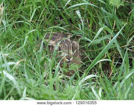 Brown Hare trying to conceal itself amongst damp grassy vegetation