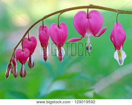 A branch of bleeding heart flowers selective focus