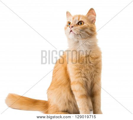 cat isolated on white background, playful, whisker,