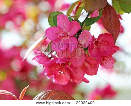 A bunch of Crabapple flowers in Spring season selective focus.