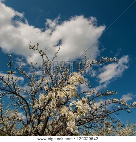 flowers blooming fruit tree apple spring season