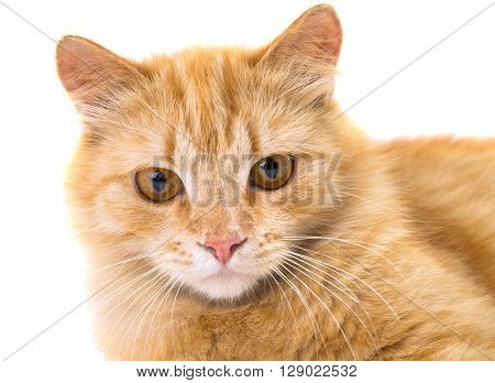 cat isolated on white backgroundl, softness, staring