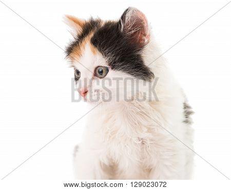 little kitten on white background, animal, kit