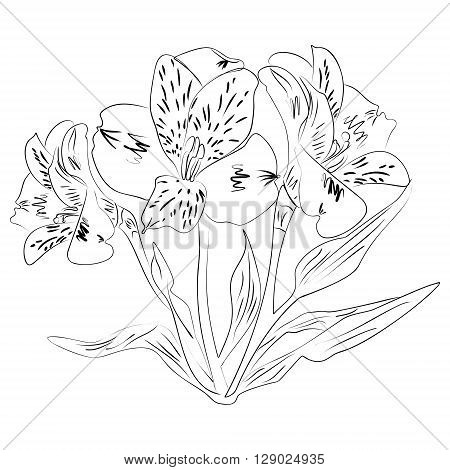 Vector illustration of an ink sketch alstroemeria flower