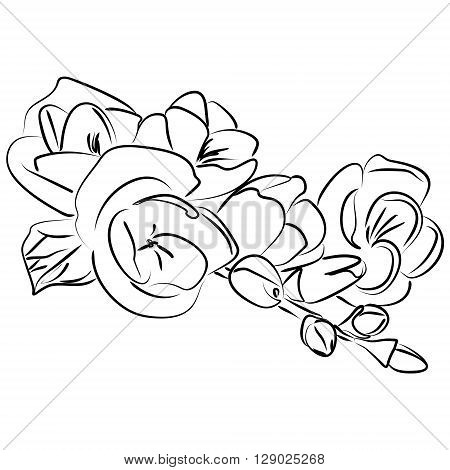 Vector illustration of an ink sketch freesia flower