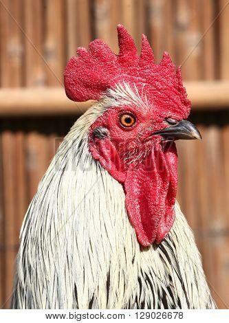 Cock chanticleer rooster