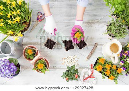 Woman gardener  replanting flowers in little pots