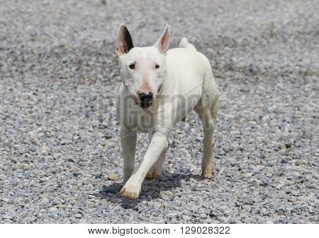 White bull terrier running across the rocks