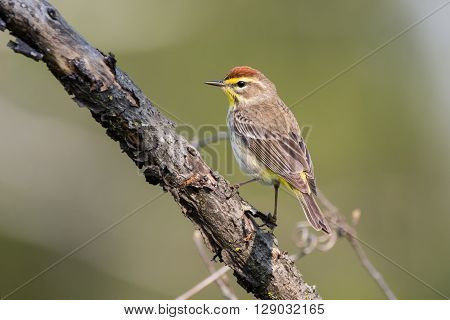 Palm Warbler perched on a branch during spring migration.