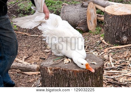 man preparing to cut the goose head with an ax.