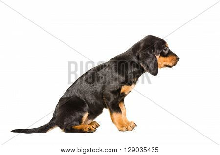 Puppy breed Slovakian Hound sitting isolated on white background, side view
