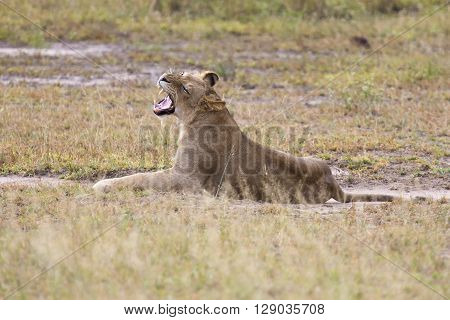 Young lion male yawn while lying down to rest