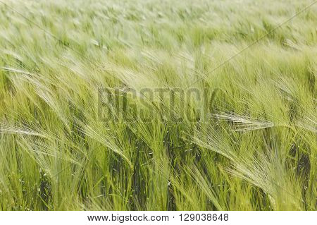 Green barley plants in a field. A barley field sways gently in the wind,  agricultural background