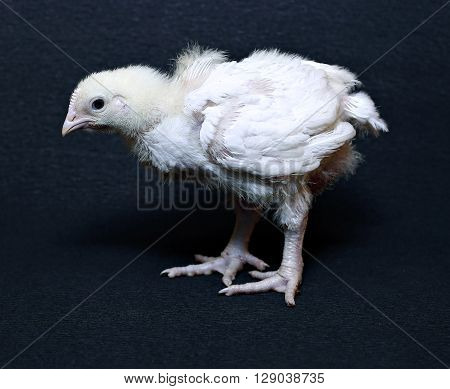 Young chick broiler on a black background