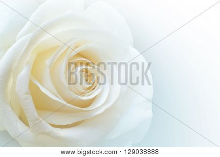 Closeup of a single white rose on clear white background