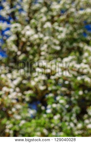 Flowering Pear Tree In Early Spring With Blue Sky In The Background Blur. Pear Tree Branches Covered