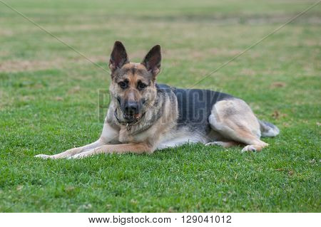 German Shepard puppy relaxing in the grass looking ahead.