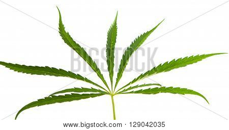 Cannabis leaf on a white background addict, delta,