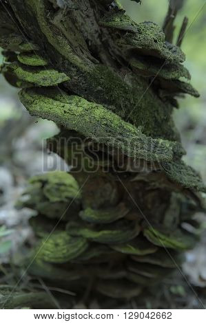 Mushrooms Growing on a Decaying Tree Stump in the Forest Moss. Beautiful Tree Branch with Moss close-up
