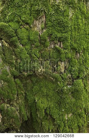 Moss texture on the Forest Green Background. Beautiful Tree Branch with Moss close-up