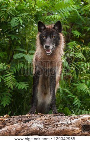 Black Phase Grey Wolf (Canis lupus) Looks Forward on Log - captive animal
