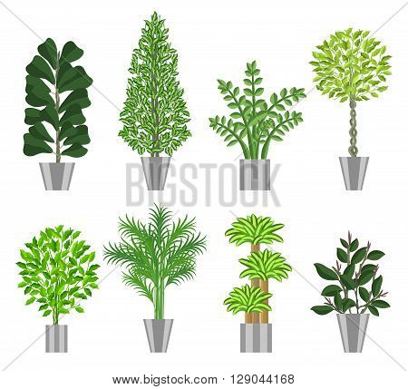 Big trees house plants collection. Large houseplants in pots for decoration of interiors. Vector illustration house plants in pots isolated on  white background
