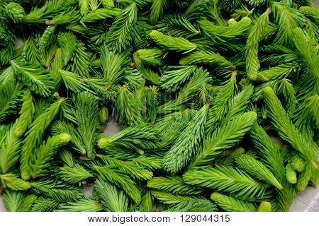 Grouping of freshly foraged spruce tips - close-up.