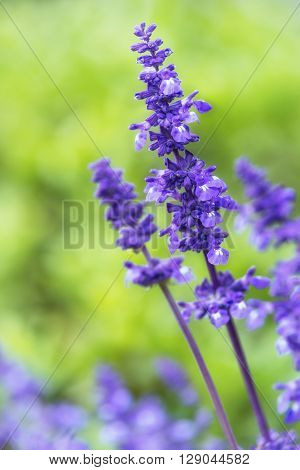 Blue Salvia (salvia farinacea) flowers blooming in the garden. Shallow depth of field. Copy space.
