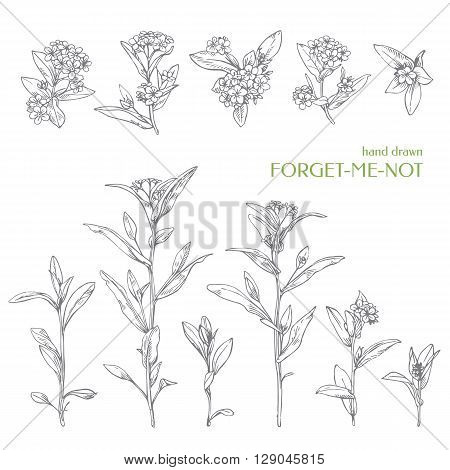 Hand drawn herbs. Vector wildflower - forget-me-not. Ink graphic.