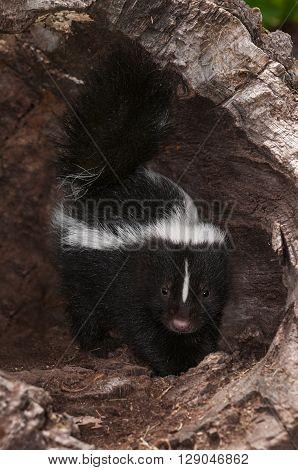 Baby Striped Skunk (Mephitis mephitis) Stands Inside Log - captive animal