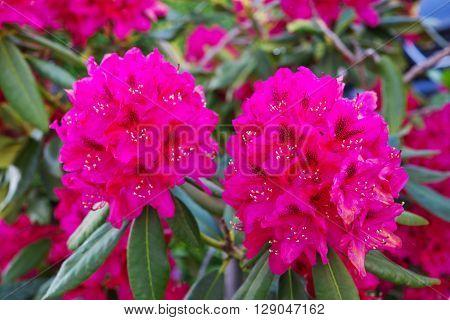 Pink azalea blossom. Rhododendron in summer garden.