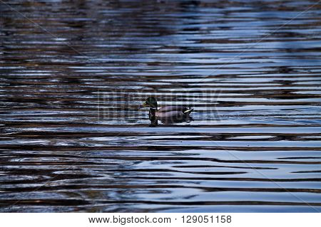 mallard duck in a pond with contrasting waves