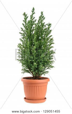 Cypress tree isolated on white. whithout shadow