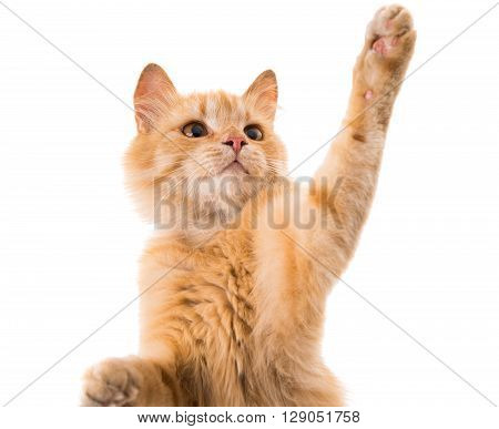 cat isolated on white background, feline, fur, game