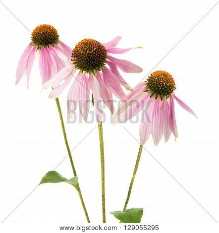 Echinacea flower on a white background spring, summer,